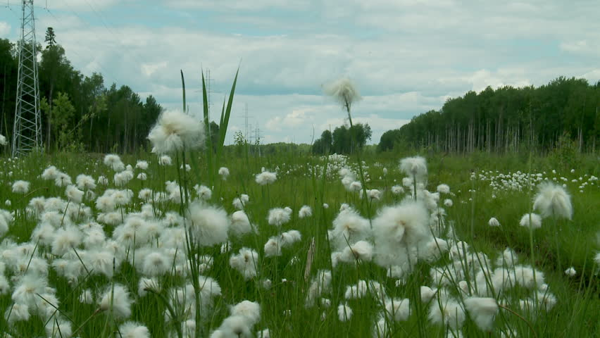 cotton grass in Siberia
