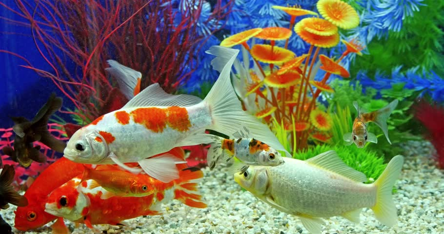 Fish swimming in tropical freshwater aquarium stock for Freshwater fish to eat