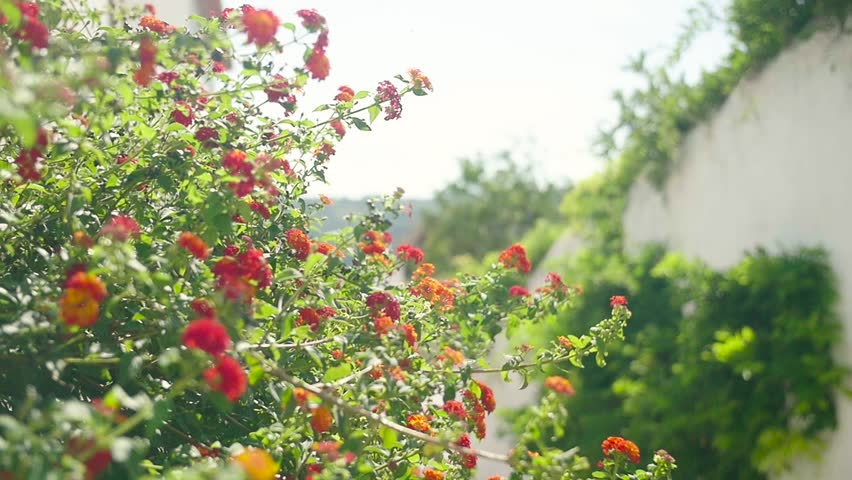 Lantana Camaras Blooming On Sunny Day Footage Growth Fresh Flowers Nature Porto Beautiful Green Travel Europe #14339044