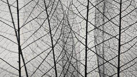 Skeletal background of leaves. Skeleton tree leaf close up.