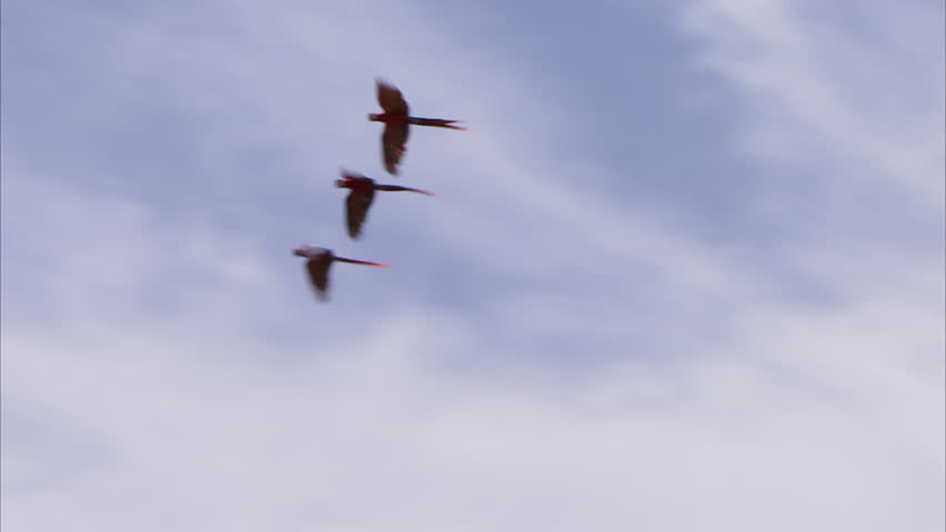 PAN WS Scarlet Macaw Hellroter parrots (Ara Macao Cyanoptera) flying above palm trees / Mexico