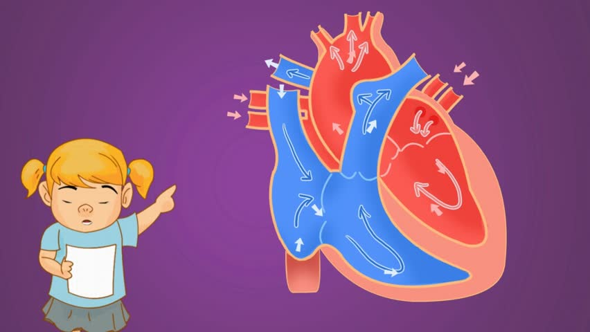 Stock video of heart anatomy study vector animation   14545471 ...