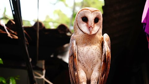 Owl with black eyes . The owl  is bending his neck forward, twisting and waving its head, staring in front of it.