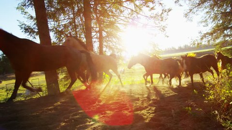 Running horses in Roundup on forest Cowboy Dude Ranch America