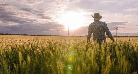 Wheat Field Farmer Walking Windmill Sunlight Landscape Nature Agriculture Growth Drone Footage Man Sky Renewable Energy
