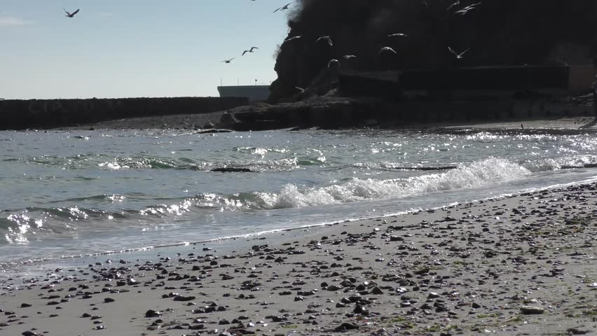 A dog chases away a flock of seagulls on the...