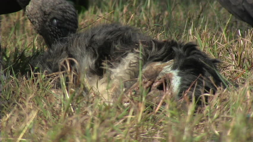 Black vultures feed on dead dog (CU)