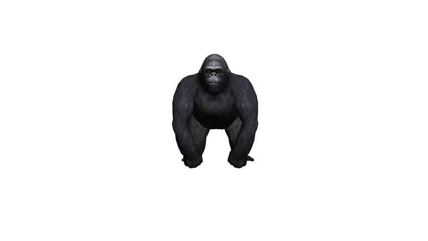 Chimp Chimpanzee Attack,endangered Wild Animal anthropomorphism  Stock  Footage Video (100% Royalty-free) 14831854   Shutterstock