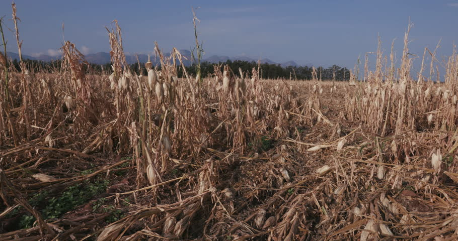4K moving shot of corn fields devastated by drought and hail  | Shutterstock HD Video #14903134