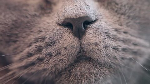 British Cat Licked Close-up.