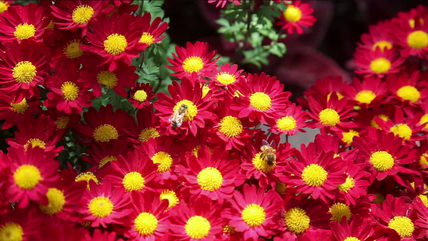 Bees on red mums