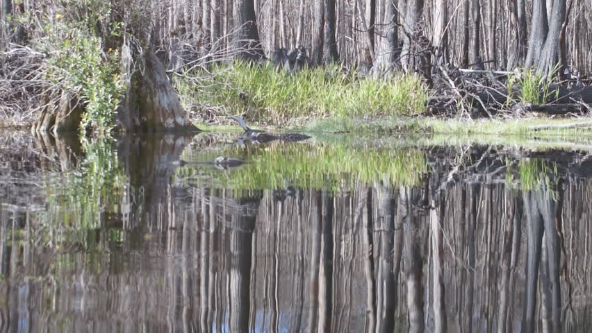American Alligator (Alligator Mississippiensis) in Cypress swamp.