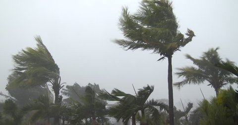Palm trees thrash and sway in strong hurricane winds as storm makes landfall. Originally shot in 4K