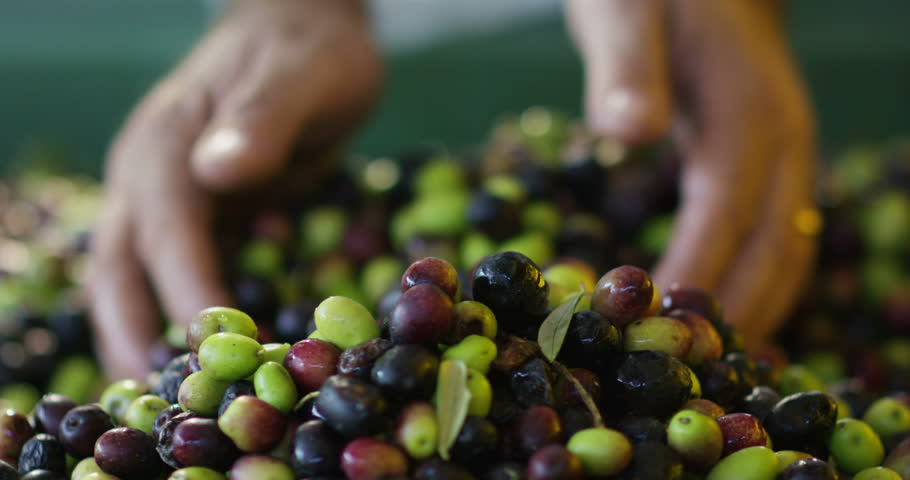 Expert hand of quality controller of italian olives to get perfect tasty special oil | Shutterstock HD Video #15071644