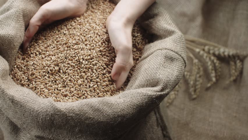 human hand touching selected grain Golden wheat in jute sack, quality new crop, slow motion,dolly shot #15156157