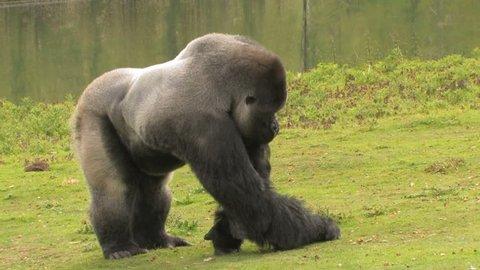AMBAM Huge Gorilla gorilla Forages for Food. Lowland Silverback snacks on nuts.