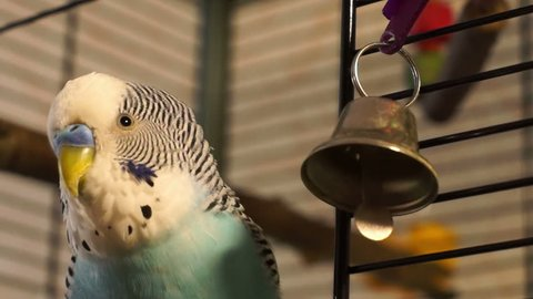 The male budgerigar playing with a bell on the cage, closeup