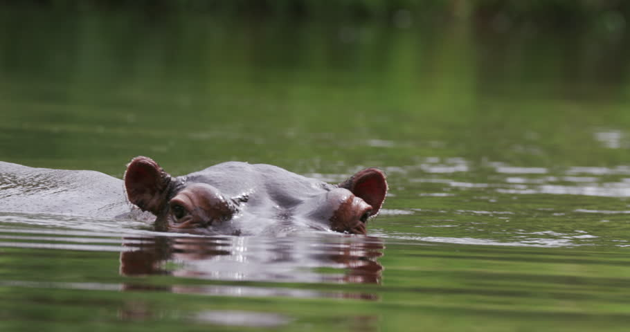 Hippo moving towards camera and then submerging - South Africa, Oct. 2015