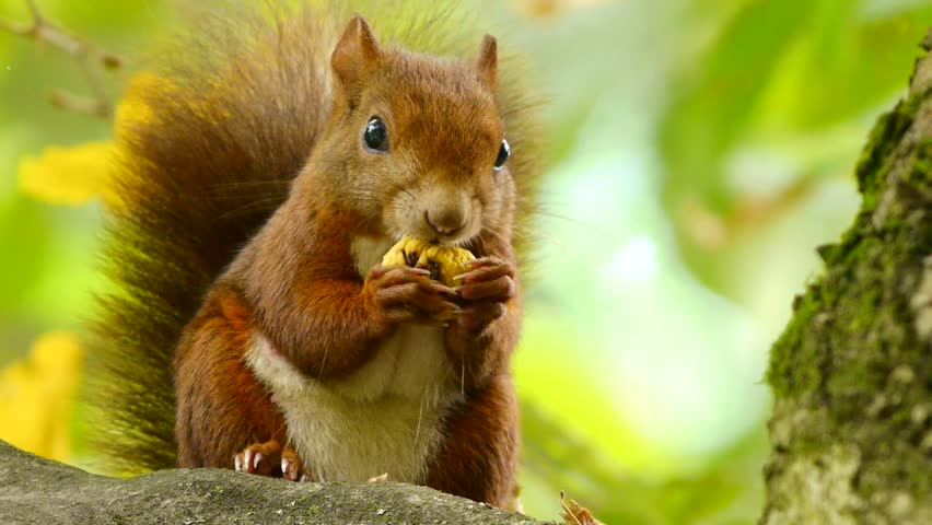 Red Squirrel at the Chestnut, Close Portrait