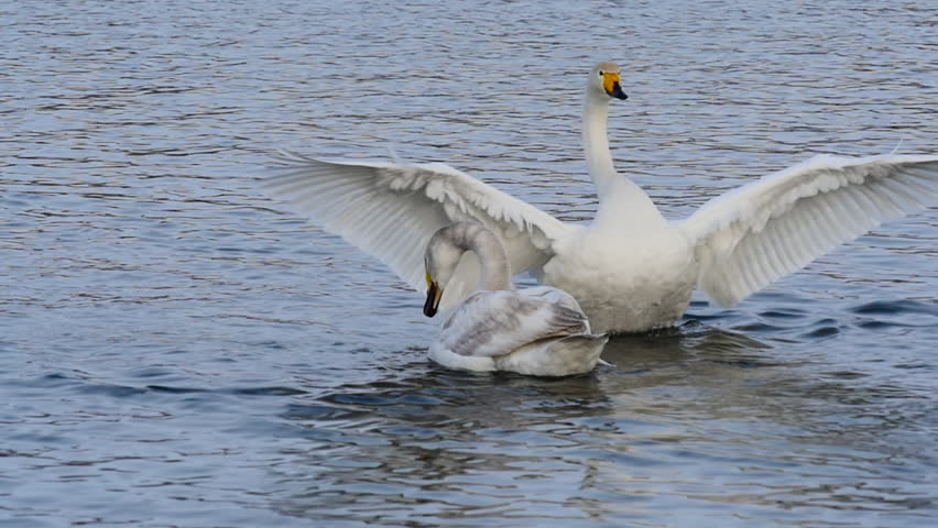 Swan mating dance slow motion