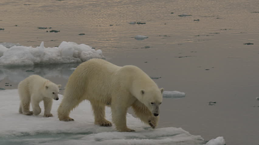Slow Motion - polar bear mother crosses slushy warming sea ice to its cub and tests the edge of the ice and water knocking slush into the water - A014 C053 071893 001 D