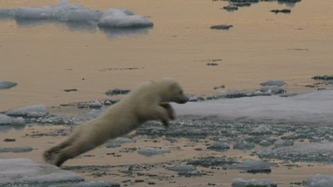 Slow motion - polar bear cub jumps across a gap between ice and lands with a splash in the slush of the arctic ocean with late afternoon light - A014 C055 0718IS 002 D