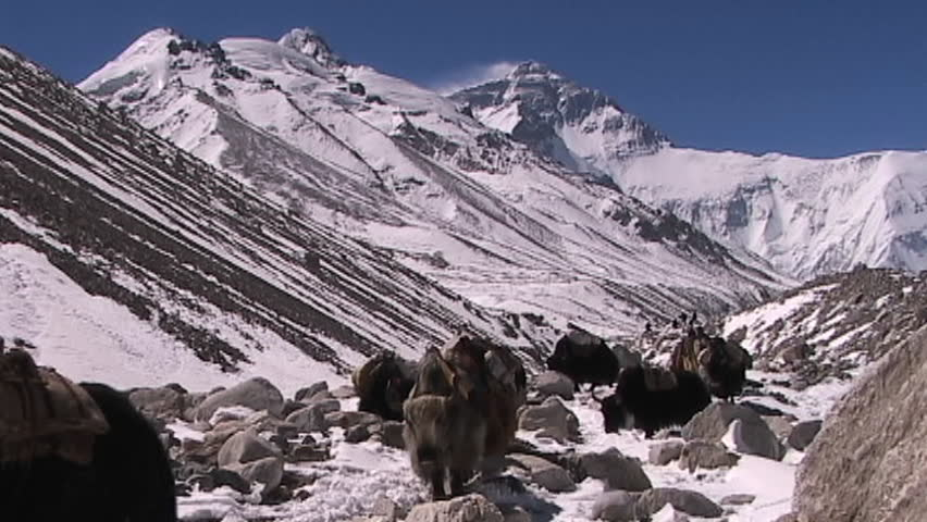 Yaks with walking with Everest in the background