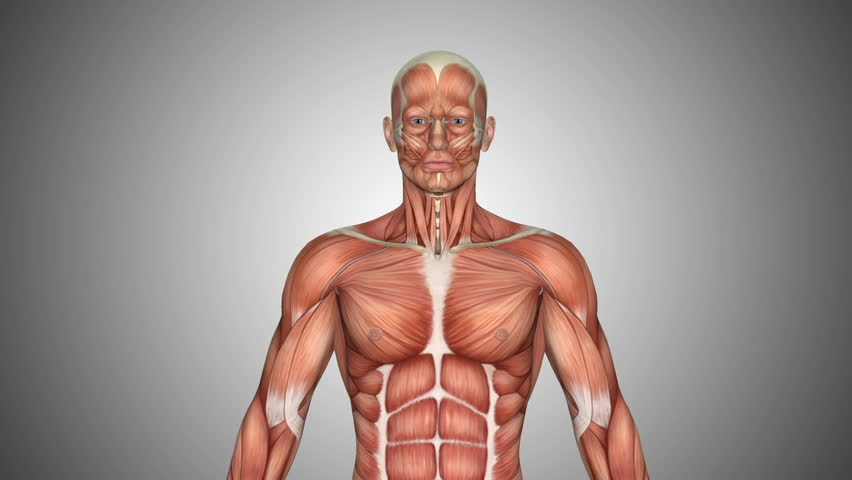 Male Human Anatomy Showing Full Body Rotation Muscular System
