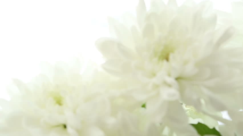 Beautiful Bouquet White Chrysanthemums On Background Video Is Blurred And Out Of Focus