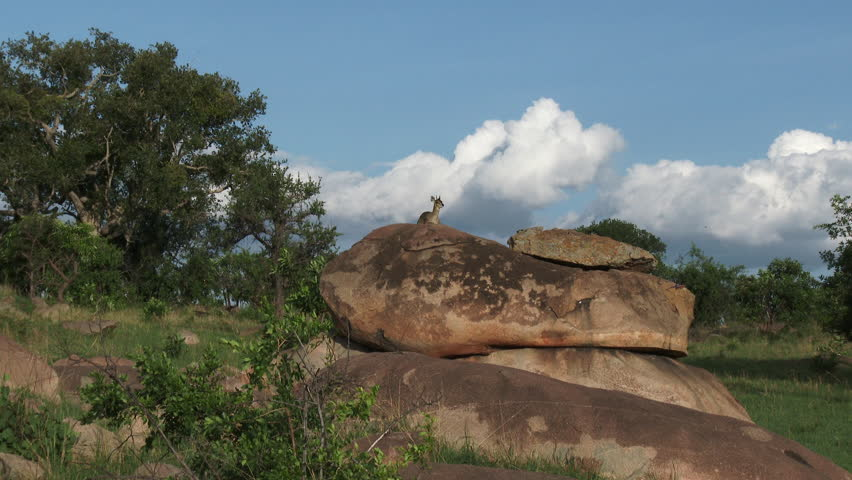 Klipspringer (Oreotragus oreotragus) standing on Koppies overlooking the Serengeti plains, shot in low angle.