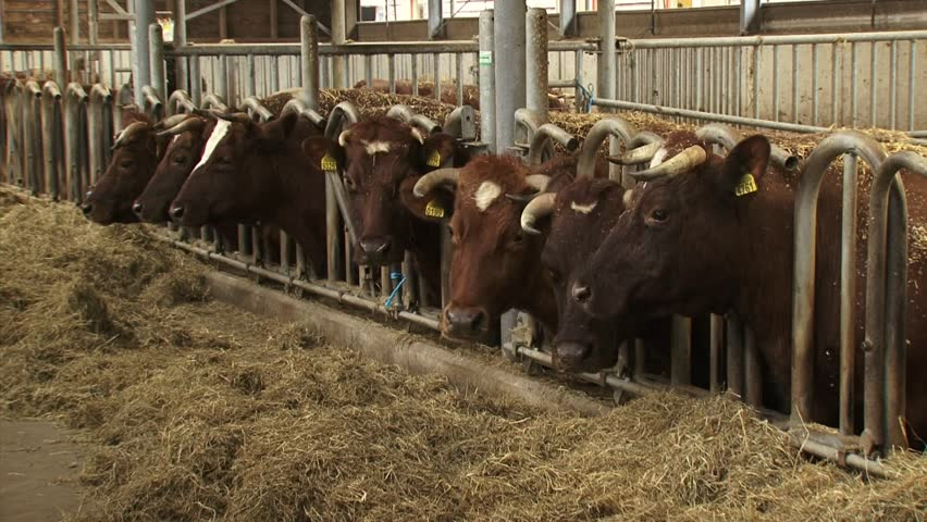 Row of Dutch Deep Red cattle in a deep litter cowshed - medium shot. A deep litter barn is an animal housing system, based on the repeated spreading of straw or sawdust material indoor.