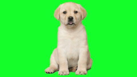 puppy on a green screen