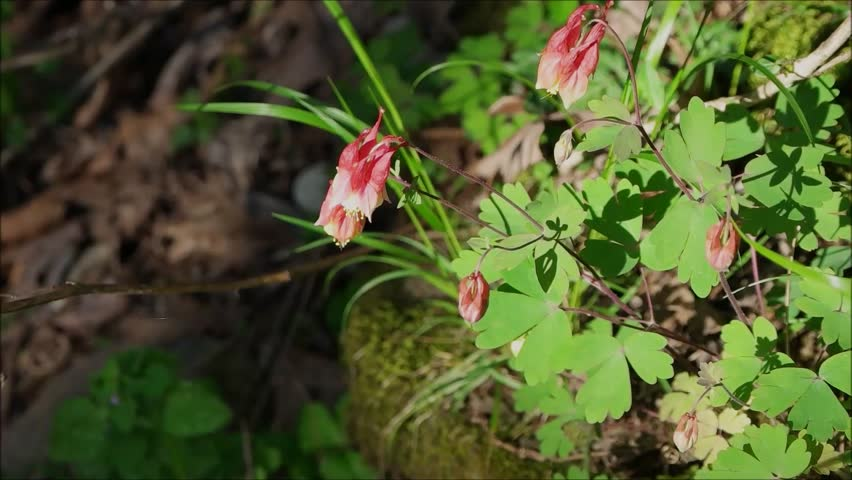 red columbine wildflower