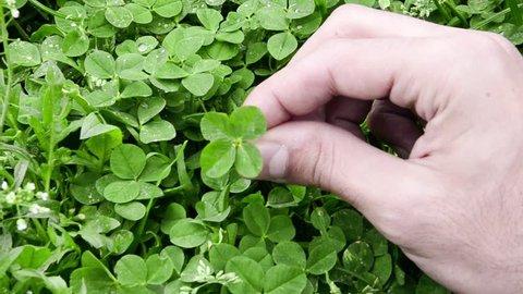 Man hand picked 4 leaf clover