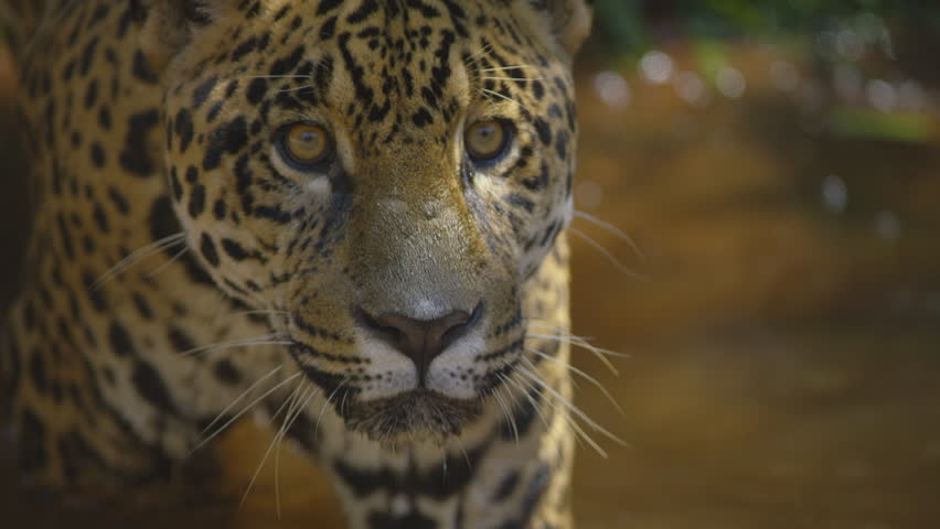 Jaguar, onça, awesome take in forest, brazil, south america shot with RED cinema camera | Shutterstock HD Video #15812098