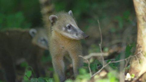 Close in Two coaties, wild animal, iguassu- Brazil cute an litle. Shot with RED cinema camera