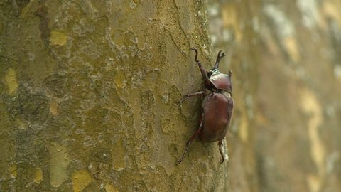 Close up of beetle on a tree trunk, Japanese rhinoceros beetle. Taitung City, Taidong, located in the eastern coast of Taiwan.