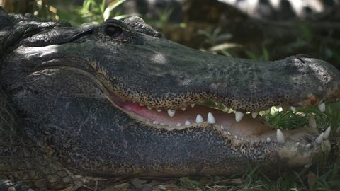 Adult male alligator opening eyes and mouth