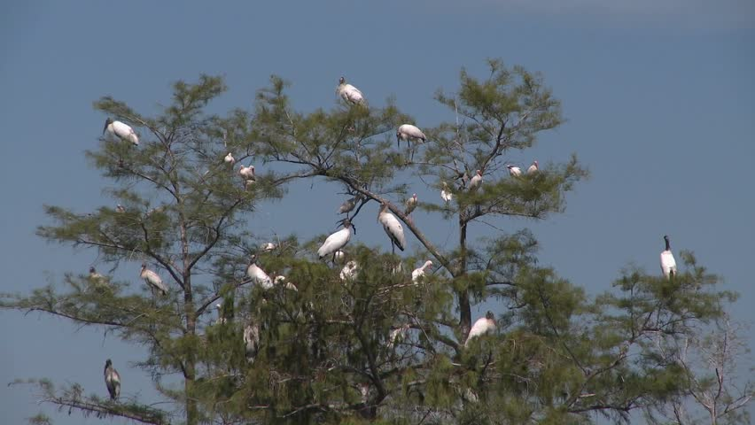 A group of egrets and herons rest in a cypress tree in the Florida Everglades