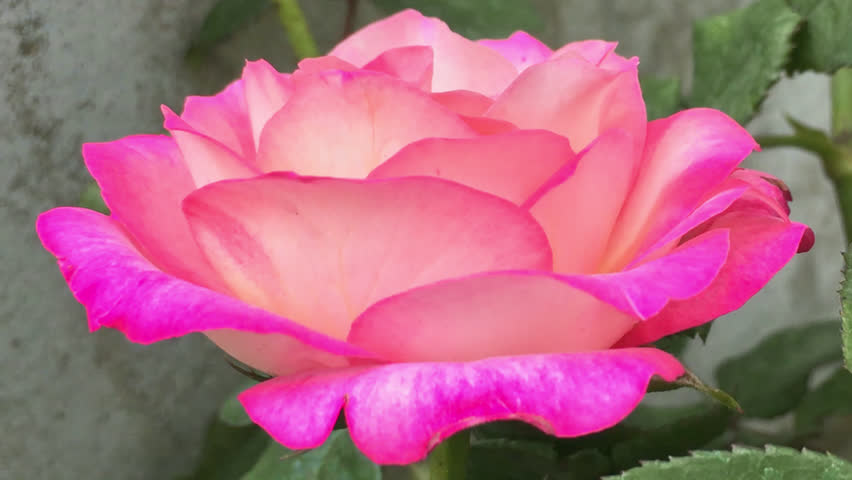Pink Rose Blossoming Blossom With Stock Footage Video 100