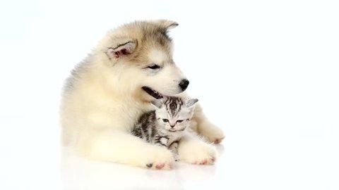 Alaskan malamute puppy hugging tiny kitten