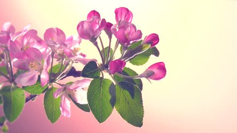 Apple blossom flowers time lapse on a pink background.  Branch with blooming flowers a apple tree. Time lapse. Timelapse