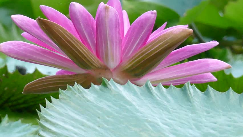 Close Up Pink Color Fresh Lotus Blossom Or Water Lily Flower Blooming On Pond Background Nymphaeaceae Stock Footage Video 16097554 Shutterstock