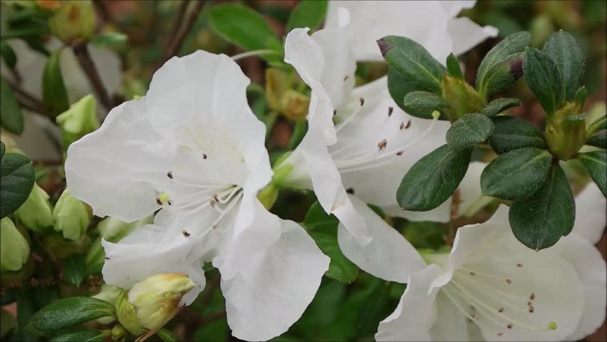 white azalea bloom