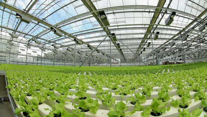 Growing Lettuce In The Greenhouse .Horizontal Panorama.Fisheye.   HD Stock  Video Clip