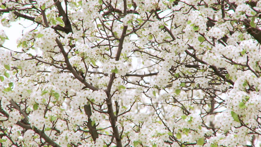 Blooming trees cherry blossoms in springtime in the wind stock pan down of white flowers blooming on bradford pear tree true 1080p hd mightylinksfo Gallery