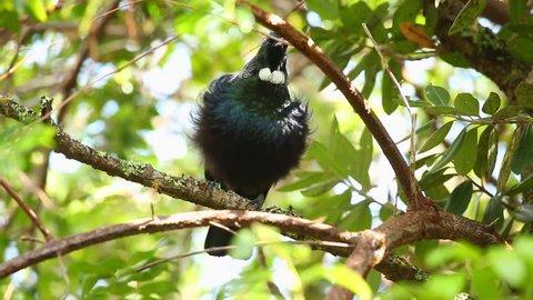 Tui bird singing in the trees
