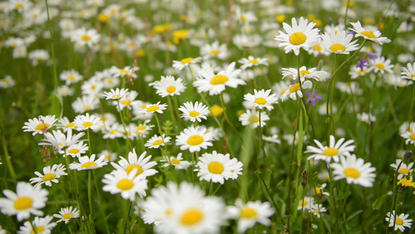 Summer Morning Over Chamomile Field. The ox-eye daisy is widely cultivated and available as a perennial flowering ornamental plant for gardens and designed meadow landscapes.