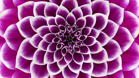 Opening Of The Purple Flower. Looped. 3D Animation.