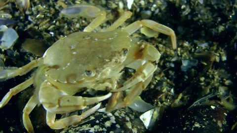 Swimming crab eats polychaete (Nereis sp.) during spawning worms.